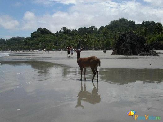 Оленёнок на пляже Мануель Антонио