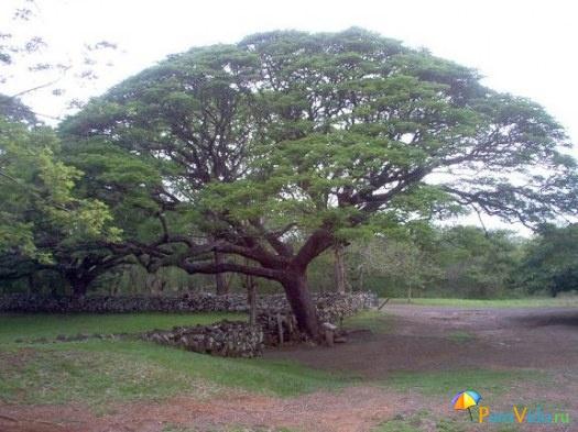 Национальное дерево Коста Рики - Arbol de Guanacaste
