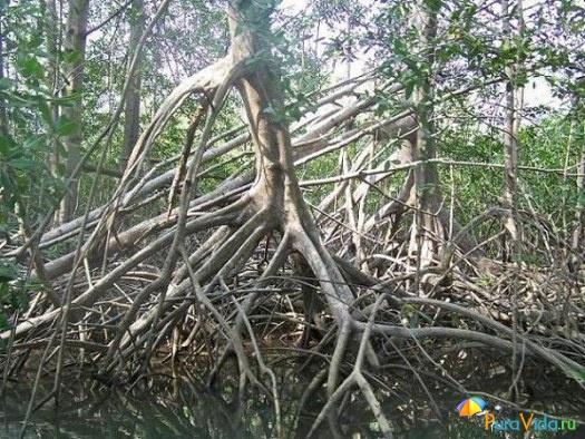 Мангровый лес , тихоокеанское побережье
