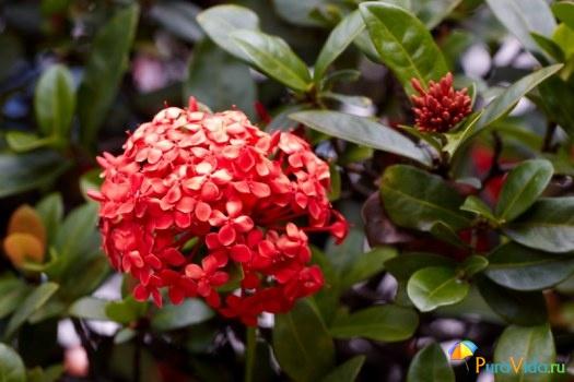Мальтийский крест, огненный цветок или красный жасмин.