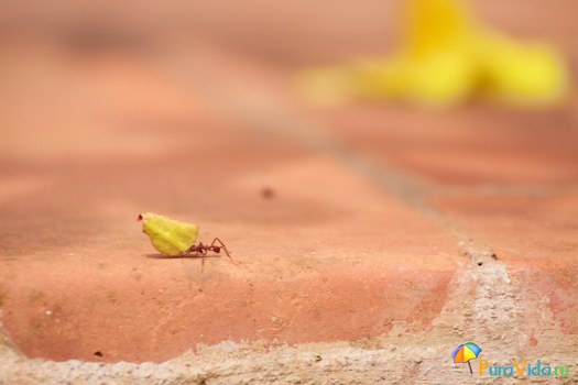 Трудяга Муравей листорез