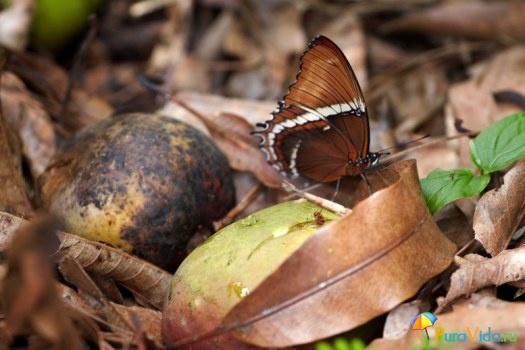 Бабочка и плоды