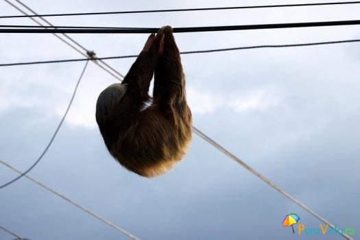 Ленивец завис на проводах