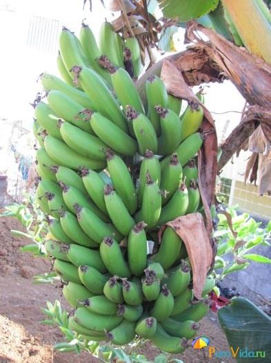 Бананчики