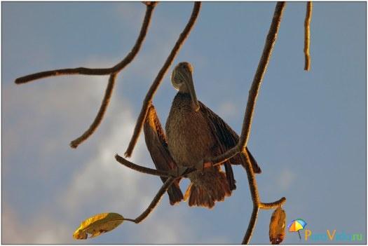 Пеликан в лучах рассвета