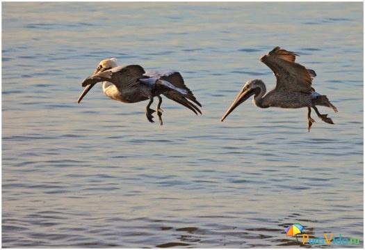 Два пеликана на охоте