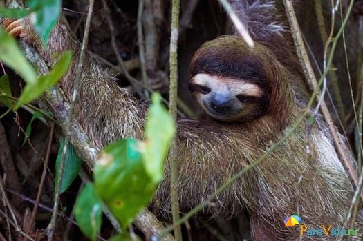 Ленивец спускающийся с дерева